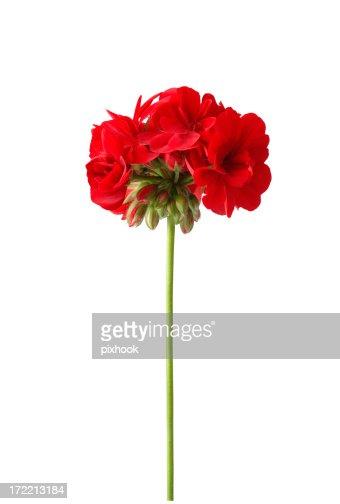 Bright Red Geranium with Path