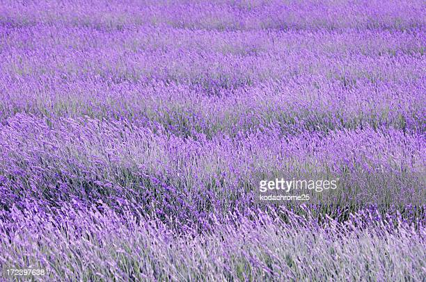 Bright rows of lavender in field