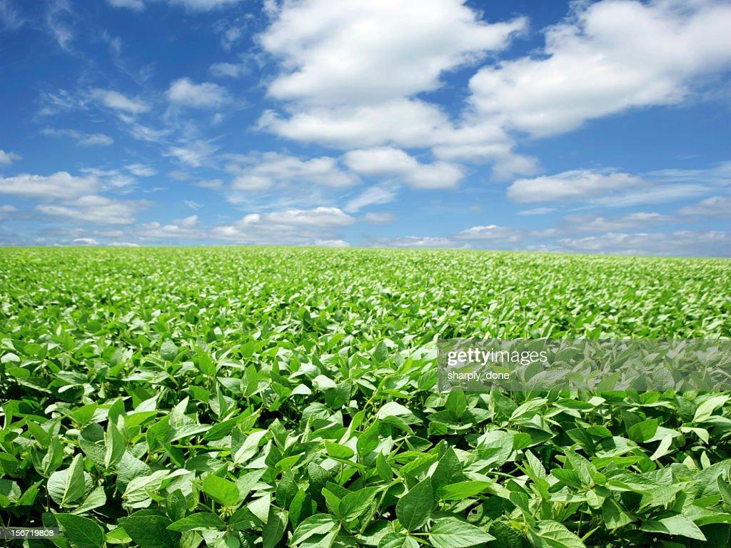 XXXL luminoso campo di soia : Foto stock