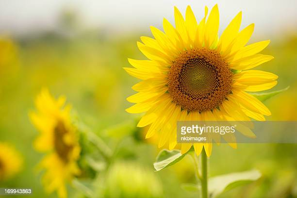 Bright sunny sunflower flower blossom backlit by sun. XXXL size.