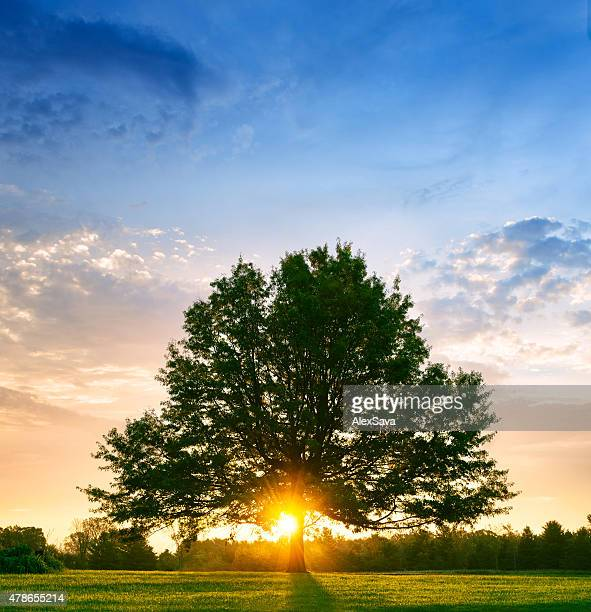 Bright sunrise behind lone tree