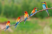group of colorful birds sitting on a branch,European bee-eaters
