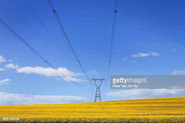 A bright yellow canola field with overhead powerlines, Swellendam, Western Cape Province, South Africa
