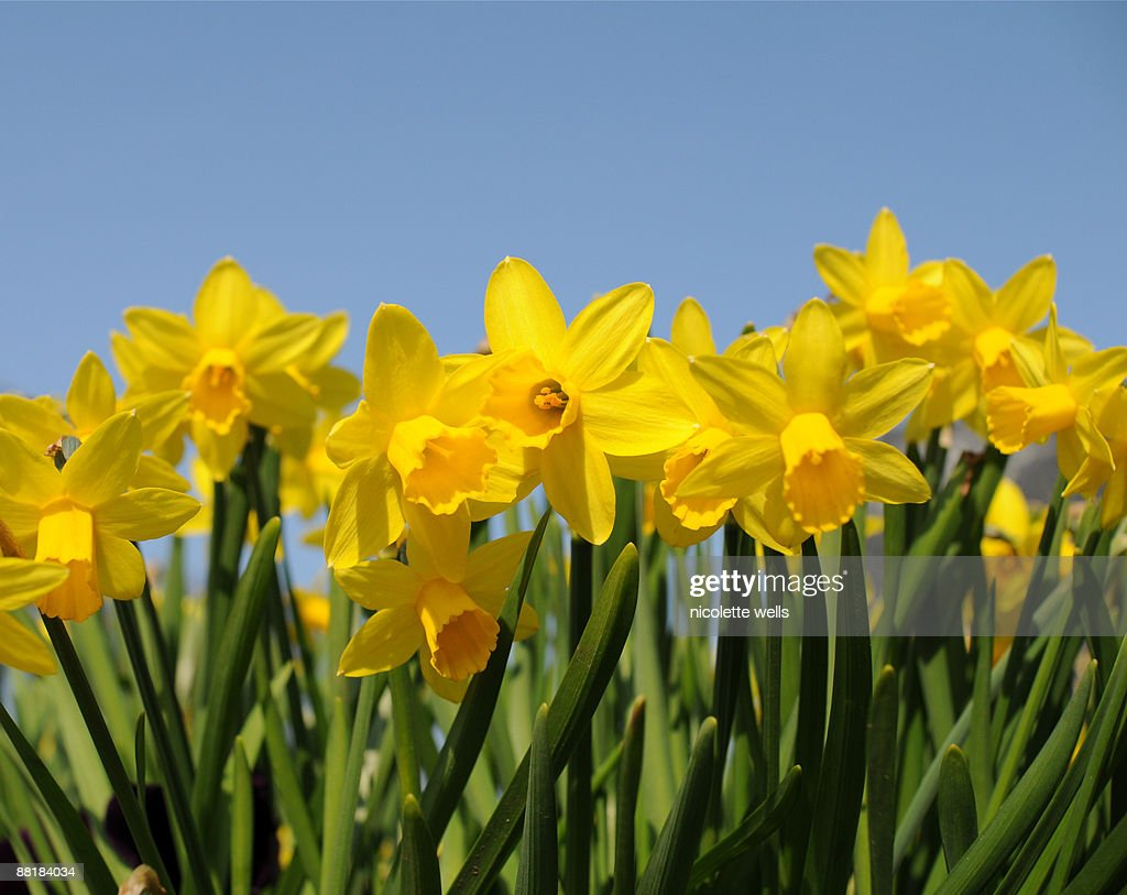 Bright yellow daffodils : Stock Photo