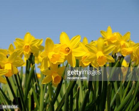 Bright yellow daffodils