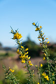 Bright yellow flower on green thorny stem of flowering gorse bush
