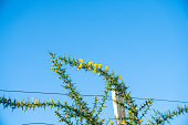 Bright yellow flower on green thorny stem of gorse bush,growing over farm fence.