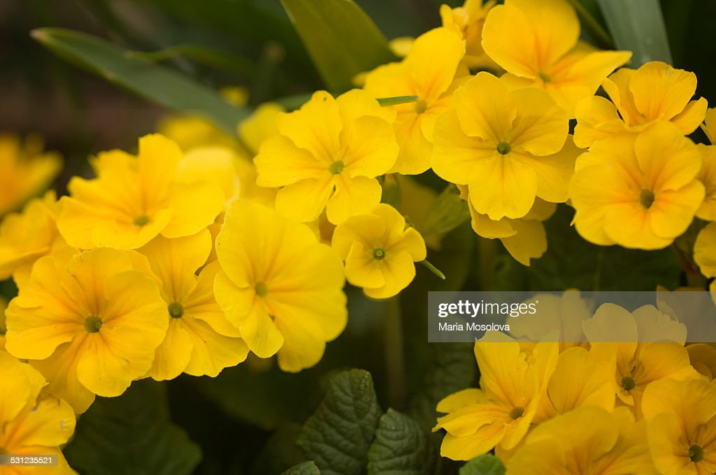 Bright Yellow Flowers of Primula acaulis