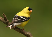 An American Goldfinch in bright Summer plumage with a smooth dark green background.