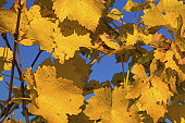 Bright Yellow Grape Leaves Against Blue Sky