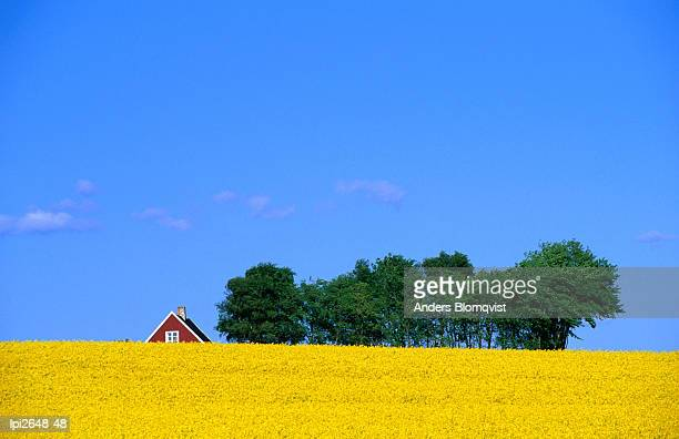 Bright yellow rapefields and red roofed farmhouse on the Kulla Peninsula,Skane,Sweden,Europe