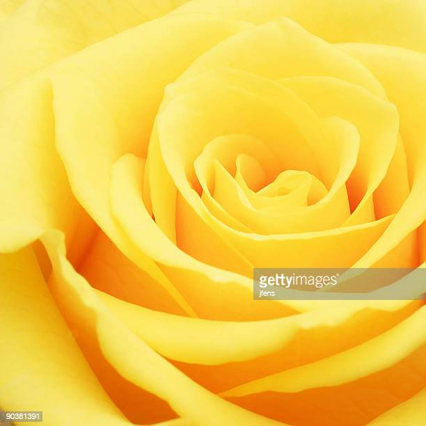Bright yellow rose with many petals up close