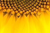 Bright yellow sunflowers sun flower close up in field garden
