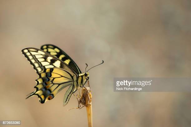 A brightly colored butterfly landing on a stem, Okanagan Valley, British Columbia, Canada
