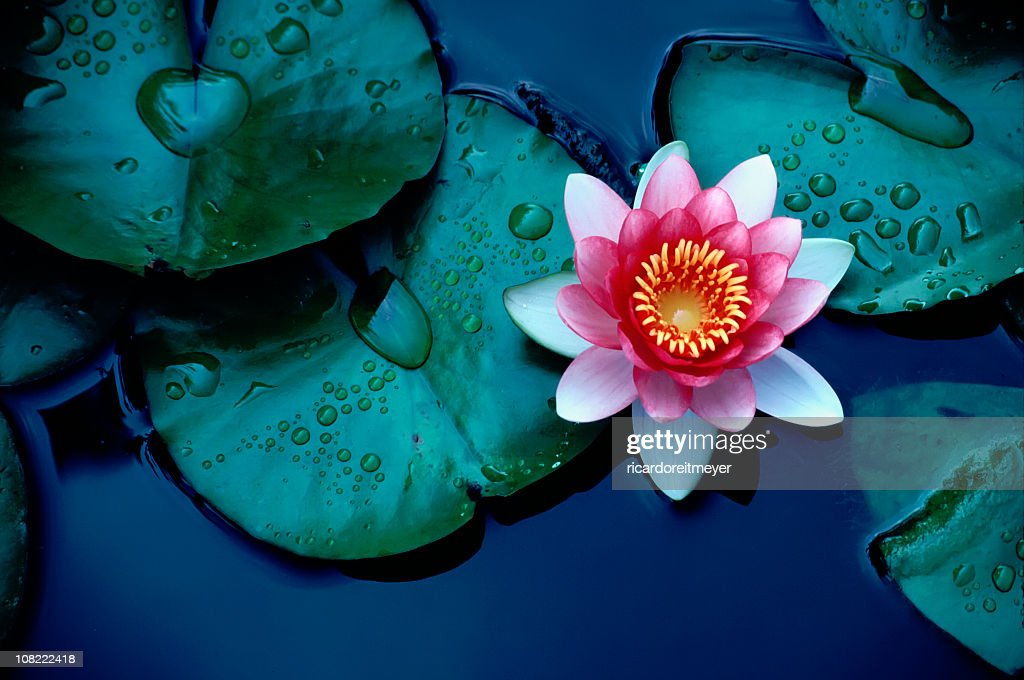 Brightly Colored Water Lily or Lotus Flower Floating on Pond : Stock Photo