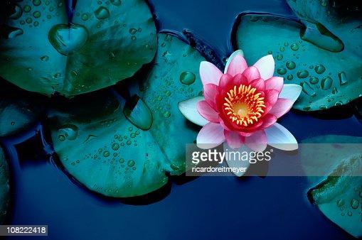 Nenúfar de colores brillantes o Flor de loto flotando sobre estanque