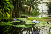 Brightly colored water lotus floating on a still pond