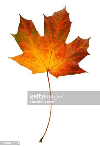Brightly coloured autumnal Norwegian maple leaf.