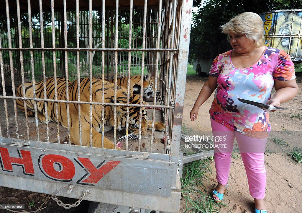 Brigitte Fuzellier, member of an environmental ONG, feeds two, of nine, Bengala tigers in a cage in a zoo in Asuncion on January 10, 2013. A Paraguayan environmental district attorney ordered the seizure of the nine Bengala tigers and seven African lions from an Argentine circus, which had been taken to the zoo on August 2012, as they had no sanitary visa to legally enter the country. The ONG launched a campaign to buy and keep the animals in the zoo in Asuncion. AFP PHOTO/Norberto Duarte