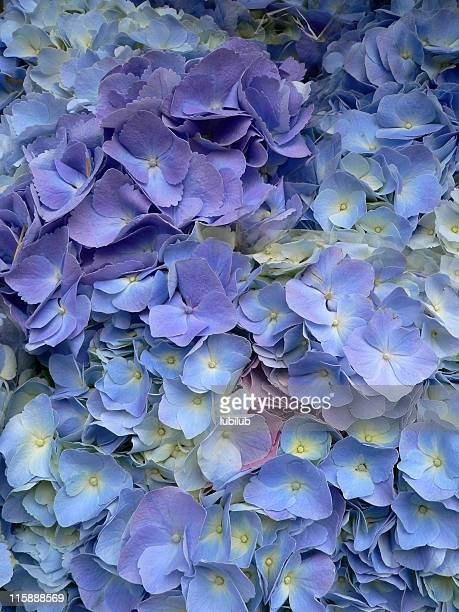 Brilliant blue and purple Hydrangea flowers (Hydrangea macrophylla) close-up