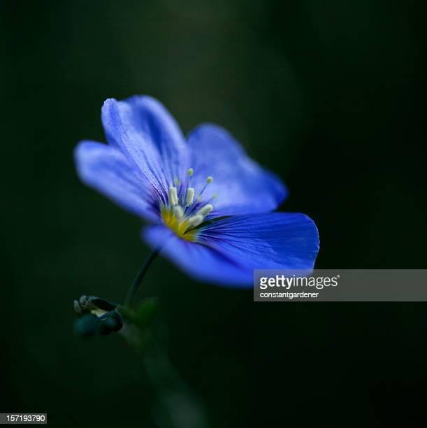 Leuchtend Blaues Leinkraut Blumen