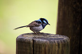 The suburb Fairy wren is another favorite of Australians. It is a really small bird that wags its tail back and forth. It's bright blue hues are also delightful to watch