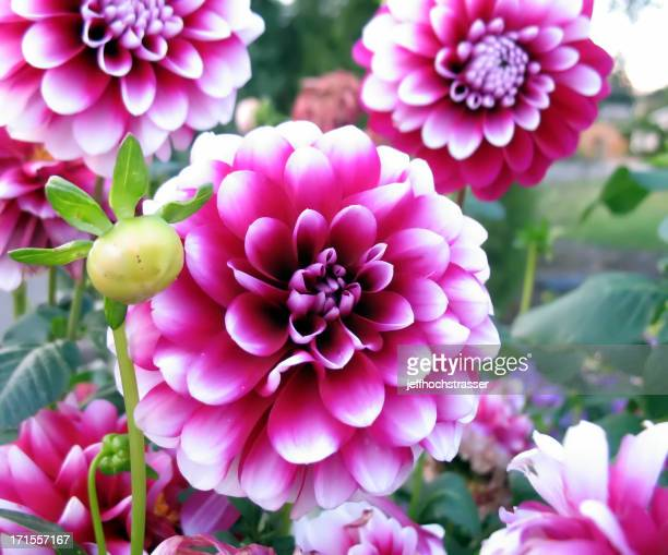 Brilliant Dahlias