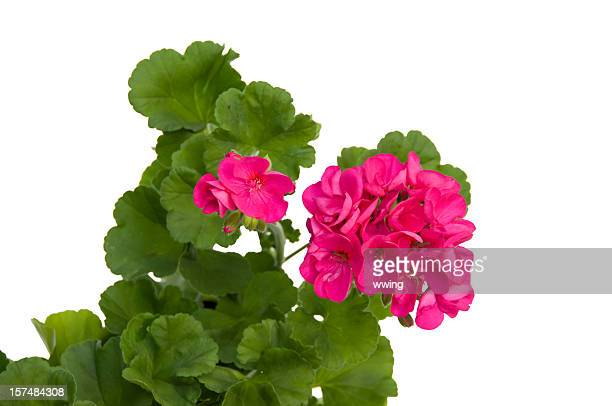 Brilliant Geranium with Clipping path