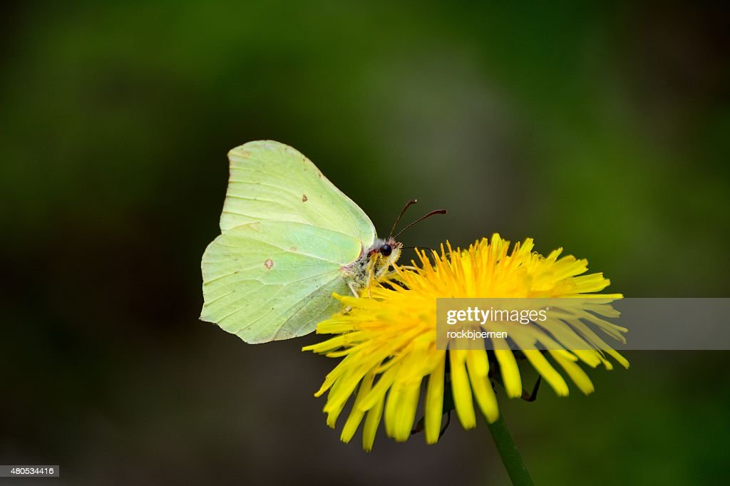 brimstone butterfly on dandelion : Stock Photo