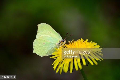 brimstone butterfly on dandelion : Stock Photo
