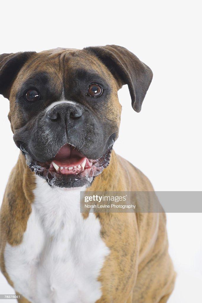 Brindle Boxer : Stock Photo