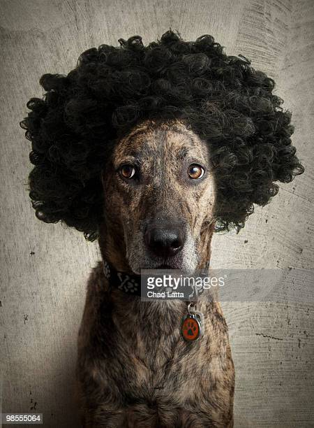 Brindle Boxer/Lab mix with a crazy hairdo!