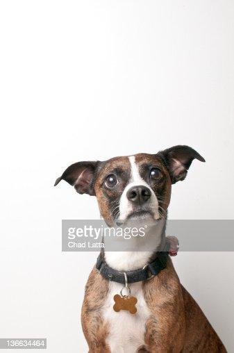 Brindle dog against white background