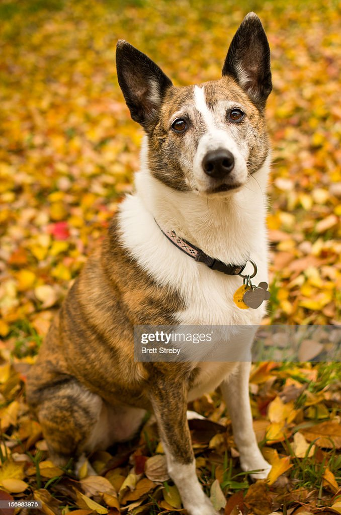 Brindle Dog : Stock Photo