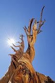 Bristlecone pine tree (Pinus longaeva), low angle view
