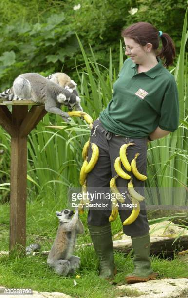 A Bristol Zoo Gardens Primate Keeper Sarah Monday 21 has gone bananas to raise money for charity with some ringtailed lemurs Sarah wearing a pair of...