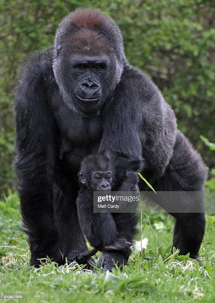 Bristol Zoo's baby gorilla Kukena holds onto his mother's arm as he ventures out of his enclosure at Bristol Zoo's Gorilla Island on May 4 2012 in...