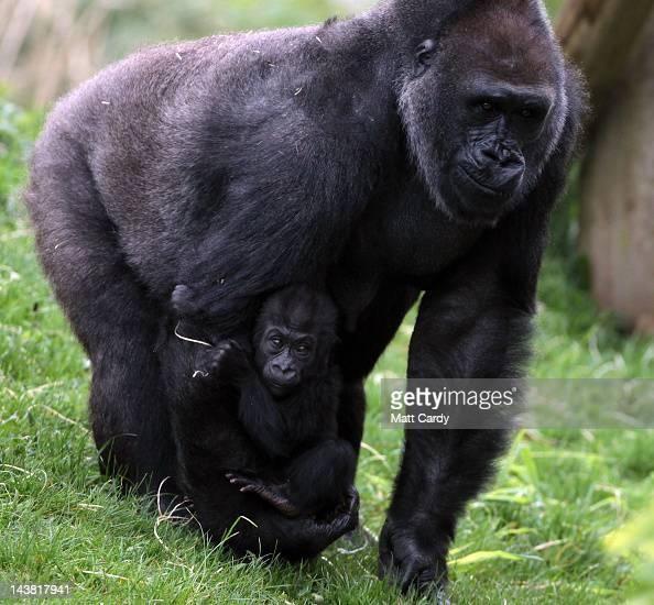Bristol Zoo Gorilla Glass Walk