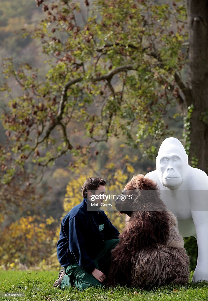 Bristol Zoo's gorilla keeper Simon Robinson meets Jambo a interactive animatronics gorilla created by Animated Extras at the launch of 'Wow Gorillas'...