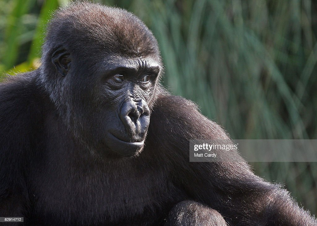 Bristol Zoo's latest arrival a young orphan gorilla looks from her enclosure on September 19 2008 in Bristol England The youngster called Kera has...