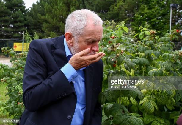 Britain's opposition Labour Party Leader Jeremy Corbyn picks raspberries in the kitchen garden of the Manor Garden Centre in Swindon west of London...