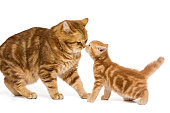 British adult orange cat sniffs in the nose a little kitten, isolated on white