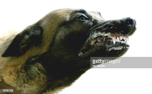 British attack dog Xom a Belgian Shepherd from the Royal Army Veterinary Corps receives training at Camp Eagle March 5 2003 near Kuwait City Kuwait...