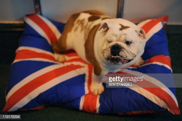 A British Bull Dog sits on a Union Jack pillow on the first day of the annual Crufts dog show at the National Exhibition Centre in Birmingham central...