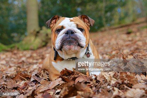 British Bulldog laying in Autumn Leaves