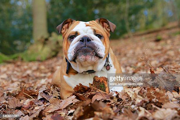 British Bulldog laying in Autumn Leaves