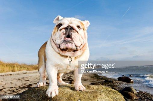 Orgulhoso Churchill de Buldogue britânico na praia