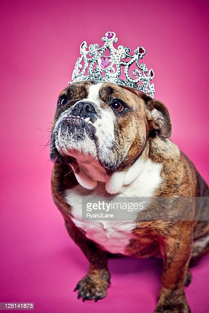 British Bulldog Pink Princess