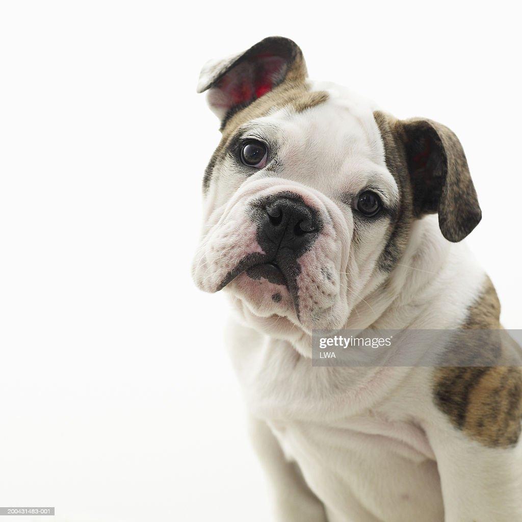 British bulldog puppy, close-up