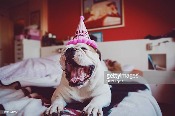 british bulldog with party hat